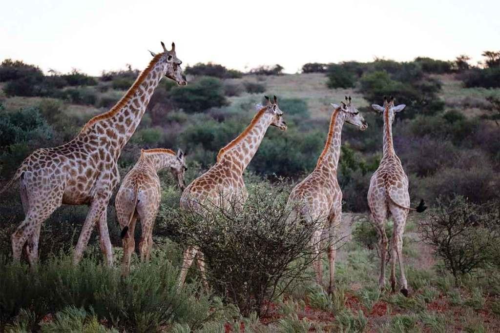 Tswalu Kalahari Giraffes