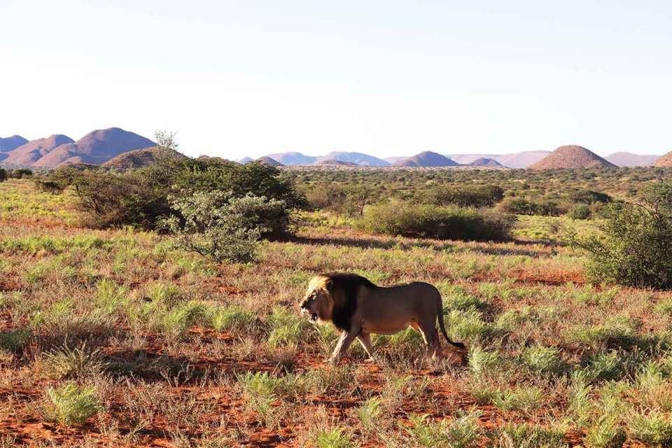 Tswalu Kalahari Male Lion