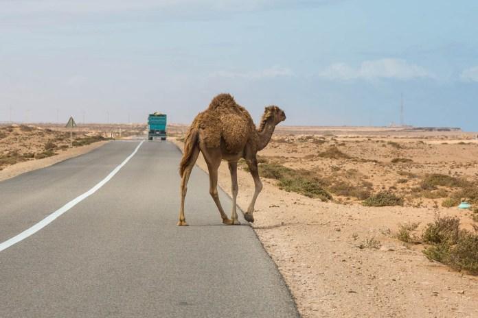 Achtung Dromedar kreuzt die Straße