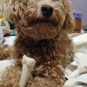 Kulot: Toy Poodle