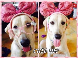 Daisy:  Labrador