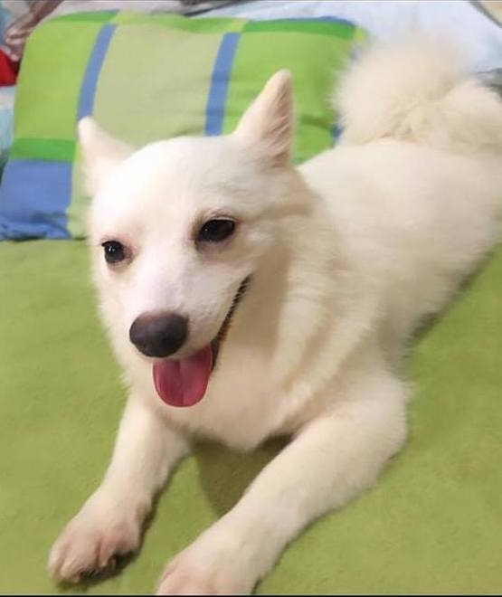 Snow:  Pomeranian japanese spitz mix