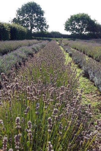 Visiting North Norfolk - Norfolk Lavender