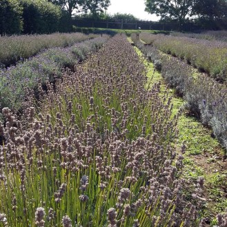 Visiting North Norfolk - Norfolk Lavender