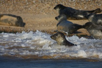 Visiting North Norfolk - Blakeney Seals
