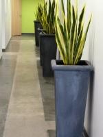 Sanseveria_Plants