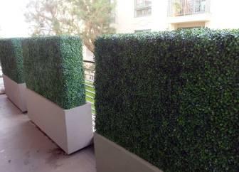 uv boxwood hedges