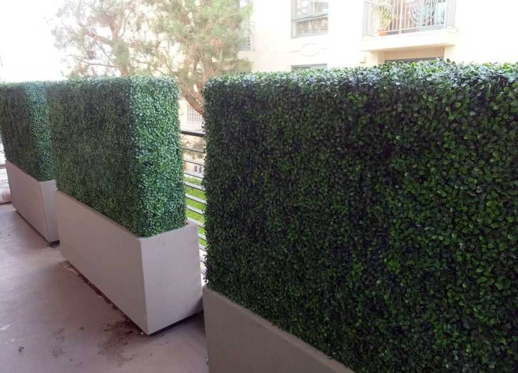 uv boxwood hedges