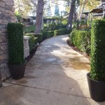 Our slender square column boxwood topiary.