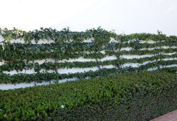 """Fill-in"" exterior UV foliage that we added to an existing Espalier planting at an upscale Newport Beach, California residence."