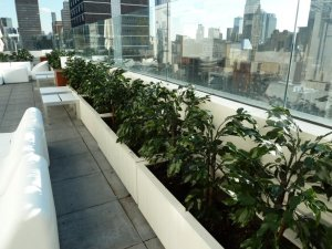 Here's a look at the custom 3 foot tall UV  Ficus trees, built on wood-treated trunks, potted into nursery pots with cement as top fill we created for the south terrace at the Marriott Hotel in Times Square in Manhattan.