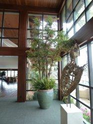 Japanese-Maple-Tree