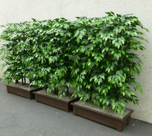 Event faux flower rental Ficus Tall Privet Hedges