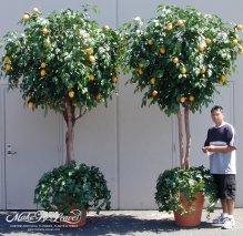 12ft-sculpted-faux-lemon-trees