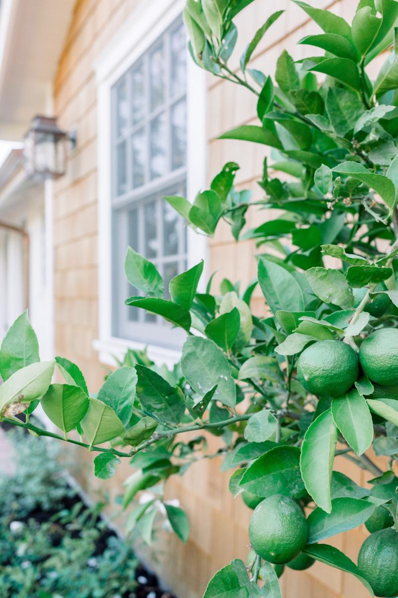 Lime Tree and Shingled House