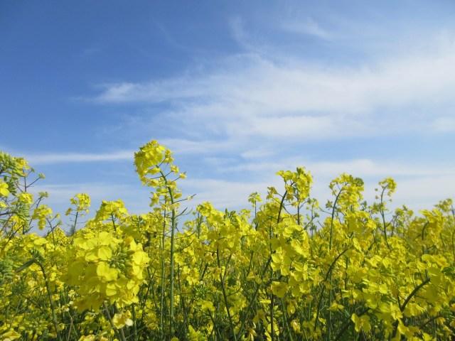 秋に種を蒔き、厳しい冬を越し、春に花を咲かせる菜の花のように