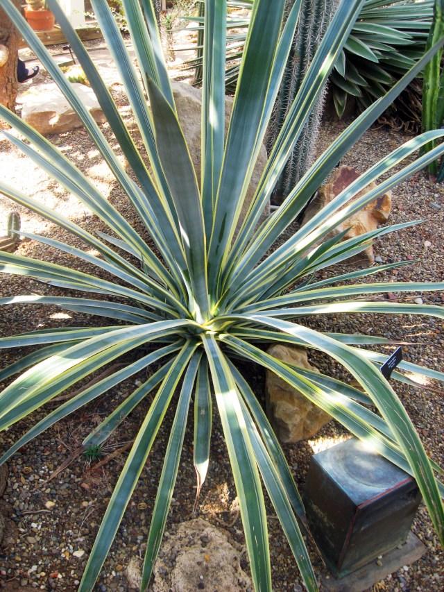 tequila cactus