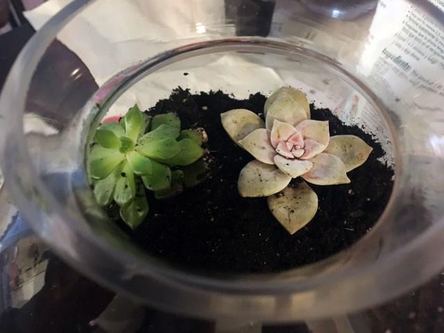 add succulents terrarium