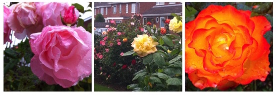 Day 52: Rose garden