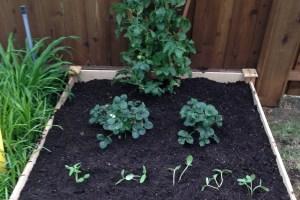 my first garden, vegetable garden, organic garden
