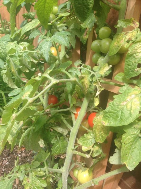 my first garden, cherry tomato plants