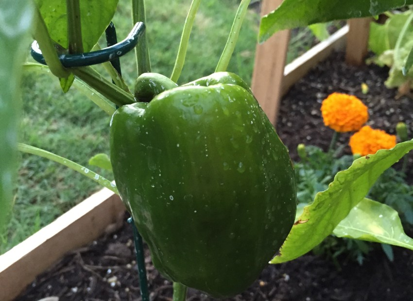 my first garden, green bell pepper