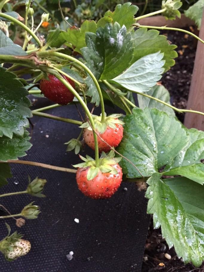 home-grown-strawberries