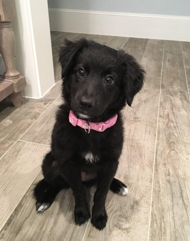 new puppy borderdoodle