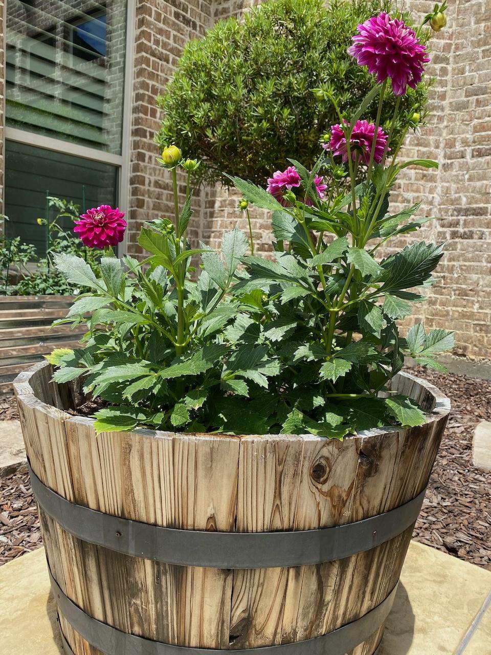 dahlia container gardening