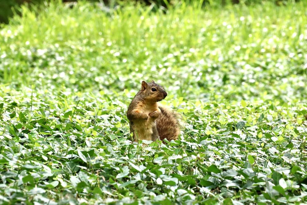 squirrel at park