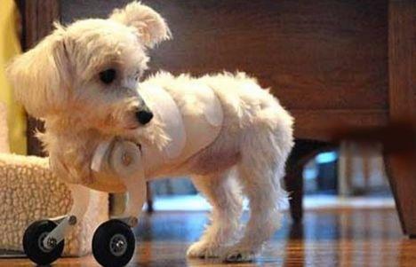 Model airplane wheels make legless puppy mobile