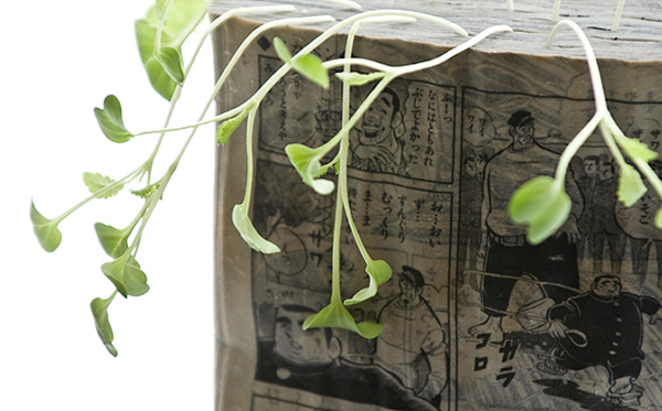 Growing radish sprouts in old manga