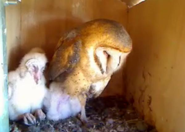 Owl nest web cam
