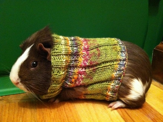 Knitted Sweaters For Guinea Pigs