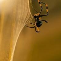 spider_golden_orb_72404464