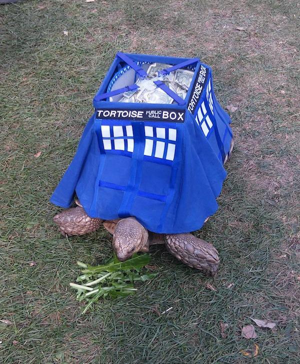 Angus the TARDIS Tortoise