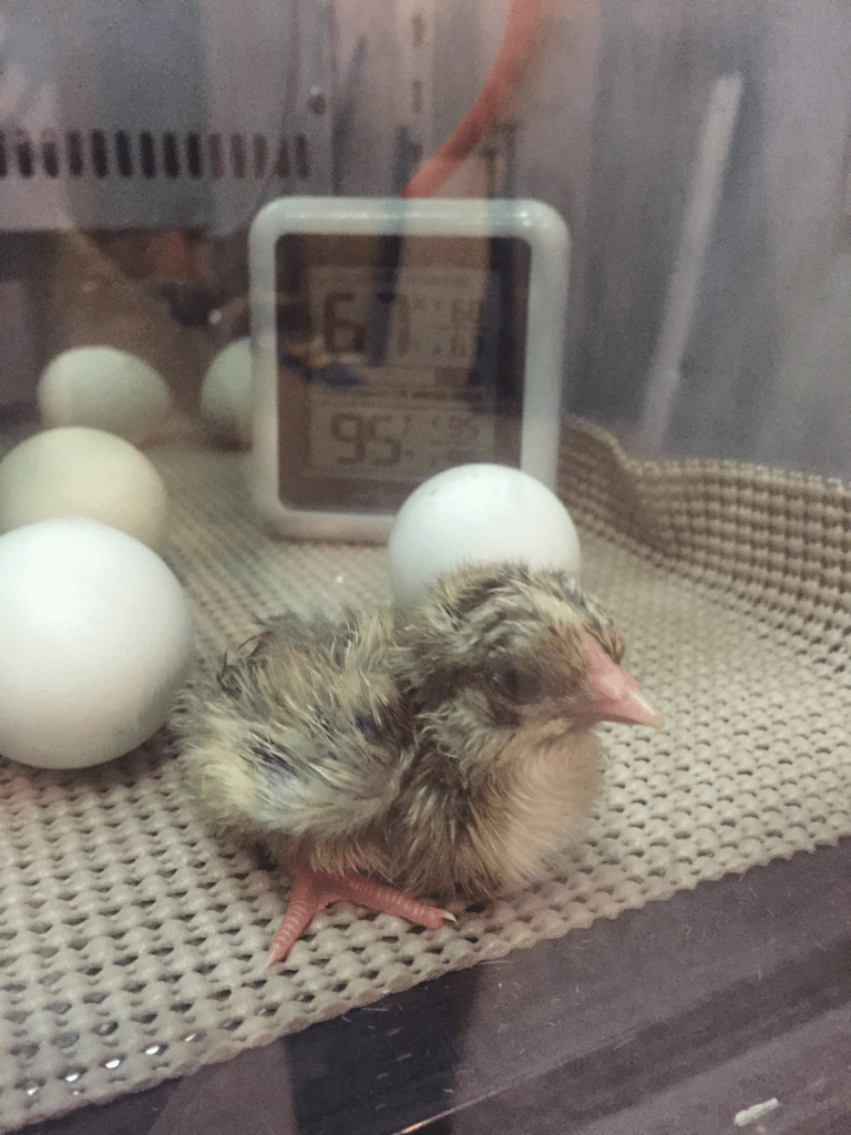 Hatching Chicks in a Hacked Mini Fridge