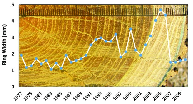 Figure 28-4 Decades of tree growth can be converted into music based on the precipitation-modulated width of annual growth rings. The bois d'arc tree shown here began growth in 1977.