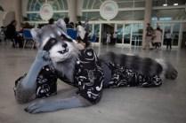 A raccoon lounges on the floor.