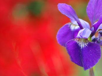 #055 Purple Iris