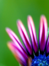 #023 Purple Daisy
