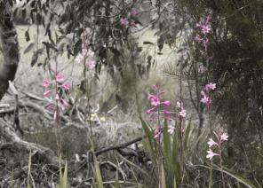 #255 OZ Blossoms