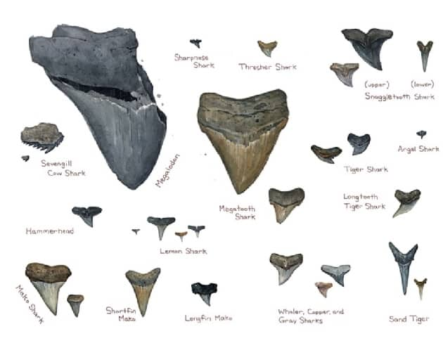 Shark tooth idenfication