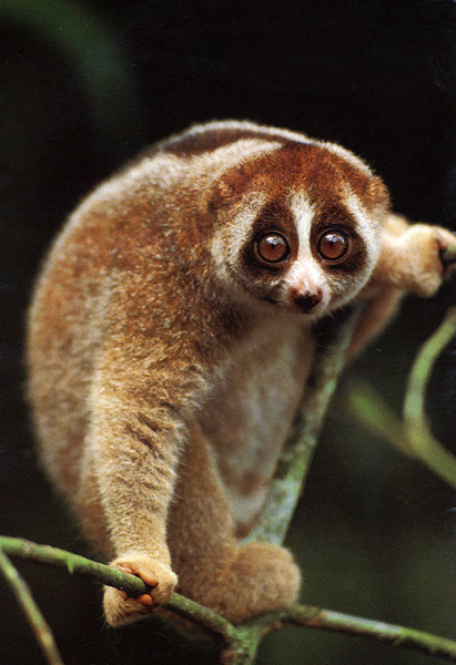 I can't talk about Anthropology without inserting a picture of an adorable primate. This is a loris.