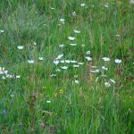 Wildblumenwiese bei Schierke