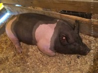 a swine, aka Mr. Pig