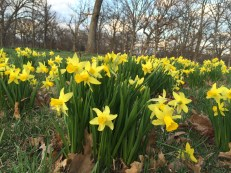 the daffodils awaken and bring me back to the surface - afloat