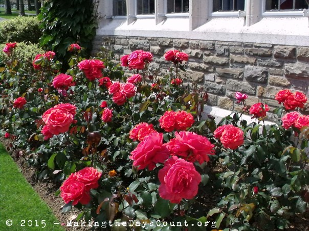 peonies outside the visitors center at Aisnes-Marne American Cemetery - Belleau Wood, France - photo taken June 2010