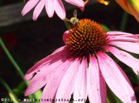 a coneflower and a bee - photo by O
