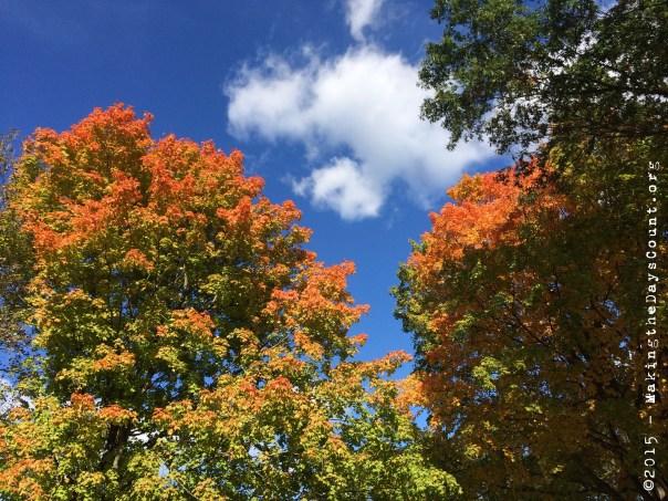 two trees, brilliant orange today, raking tomorrow.